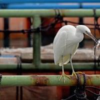 大熊漁港 生簀の鳥見№2:サギ類