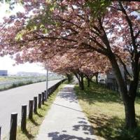 勝竜寺第二公園の八重桜のトンネル