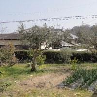 オリーブの木の剪定です