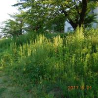 春の堤防公園土手の草刈り
