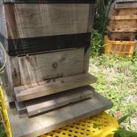 ニホンミツバチを保護しました