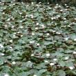 早朝散歩今日は岩槻城址公園 蓮の花撮影してきました。