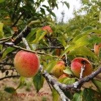 炭焼と最後の梅の実収穫~♪