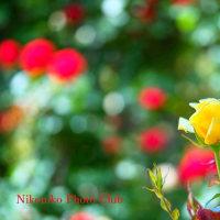 グリーンパークの薔薇 (投稿3)
