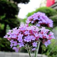 柳花笠(やなぎはながさ)という花