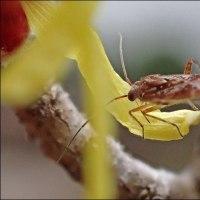 今冬のマンサクと昆虫(14)