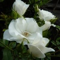 40周年首無地蔵大祭と伽羅の花とゆきのした