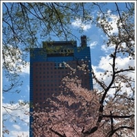 「前橋公園」 の 桜    (1の1)    ★ 2017.04.22 ★