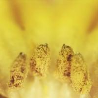 [#3508] プリムラアコーリス(6)花弁切除