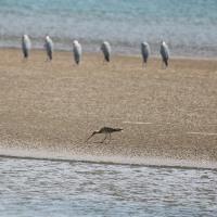 砂の中のカニなどを捕食  ダイシャクシギ