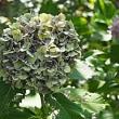 紫陽花…最後まで咲く