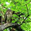 台風の後の森で・・・・フクロウの親子