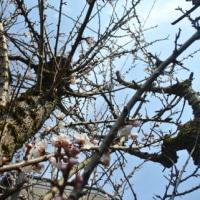会津の桜情勢 🌸 鶴ヶ城(会津城)周辺