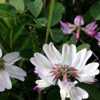 カタクリ の 花は・・・咲いているか 1?