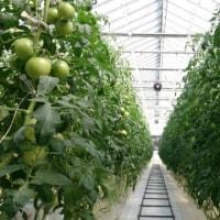 50t採りトマト見学
