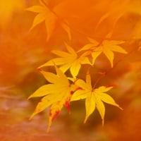 紅葉 (花 4110)