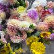 売れなくなった切り花、ダリア栽培の見直し…