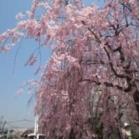 半木の道の紅枝垂れ~*゜。+*(´ω`*)桜*。゜.:キレイ:.゜。*ダナッ☆