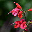 赤いサルビアの花