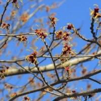 """香雪園に春の訪れを告げる""""マンサク""""..."""