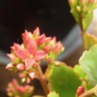 やっと咲いたカランコエ