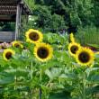 和歌山県植物公園緑花センターのヒマワリ