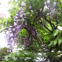 庭の花 藤など 170427