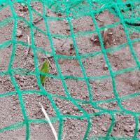 トウモロコシが2週間で発芽