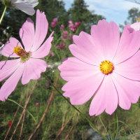 み~なの花畑のコスモス・・・・・凄くきれいな代わり咲き