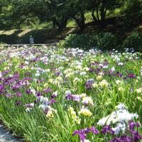6月15日(木曜日)「菖蒲園」(Ka-Koさん)