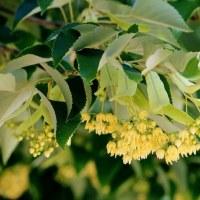 菩提樹の花が満開