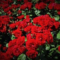 6月の真っ赤な薔薇。