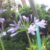 庭の花(アガパンサス、ルリマツリ)