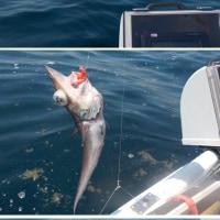 ノドグロ、キンメ狙いも大きなサメ君に邪魔される。
