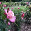 6月の薔薇園で