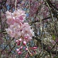 2017-04-13 今日の記録 都立狭山公園で桜の花見