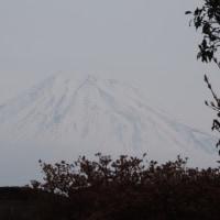 今朝の富士とキジの親子