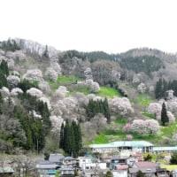 長野白馬オリンピック道路沿いの桜