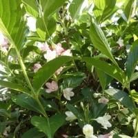 「あじさい」の古木に花が咲き始める・・・いわき