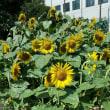 夏本番近しー向日葵畑
