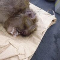 5月8日有害鳥獣捕獲「猿」