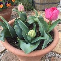 チューリップ 春の訪れ