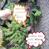 """""""あかとあお 紫陽花つちの リトマス紙"""" 土の酸化具合によって、花の色が変る と言われてる、あじさい・・"""