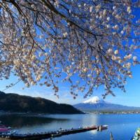河口湖の満開の桜