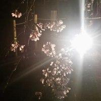 夜桜照明始めました