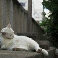神社の白猫