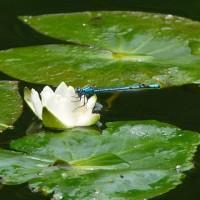 ルリイトトンボ(瑠璃糸蜻蛉)