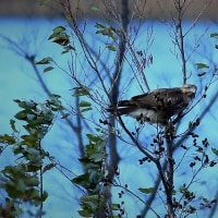 強風のお池は大収穫(笑)・・・ハイタカ・コミミetc