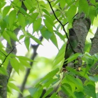 木止まりのオオヨシキリとサンコウチョウ雌