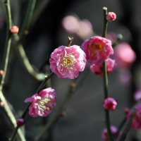 春隣の紅梅